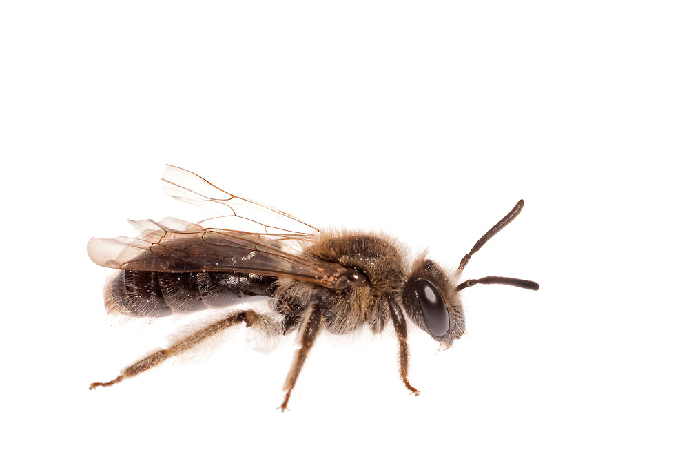 Mining Bee (Andrena sp), female, South Carolina, USA