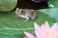 Frog and pink lily flower in my backyard pond.