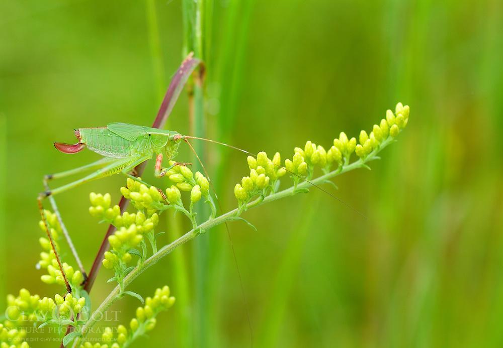 Round Headed Katydid sp. (Amblycorypha sp.), Pickens, South Carolina, USA