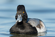 Maryland Waterfowl