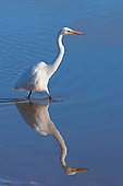 Eastern Great Egret Pictures - Photos
