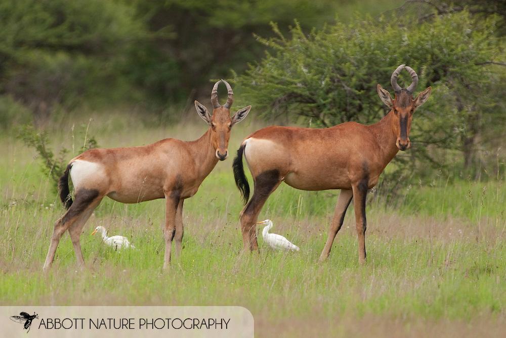 Red Hartebeest (Alcelaphus buselaphus)<br /> SOUTH AFRICA: Limpopo Province<br /> Polokwane Nature Reserve near Polokwane<br /> 11.Jan.2006  S23 57.2854 E029 29.1245 1334m<br /> J.C. Abbott #2218