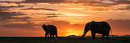 Elephants at sunset, Amboseli National Park<br /> Thanks in part to the work of the Amboseli Trust for Elephants (operator of the longest running study of elephant behavior in the wild), the Amboseli elephants are generally protected from the ravages of poaching that have decimated elephant populations in other areas in Africa.  <br /> The Amboseli elephants generally spend their nights in the woods and their days feeding on the plains and drinking from watering holes in the marshes. Each afternoon the families make their way back across the plain to the forested hills of Kilimanjaro.<br /> A portion of the sales of Amboseli elephant images on this site goes to support the work of ATE and its Director and Founder, Dr. Cynthia Moss.  For more information, contact elephanttrust.org.