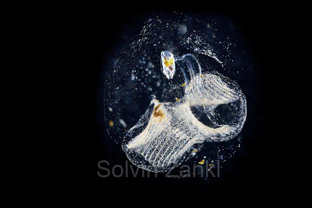 Oikopleura - Frei schwimmed Manteltiere mit Fangapparat.  Sie sondern ein gallertiges Gehäuse mit kleinen Sieben ab und nutzen es als Filterapparat.