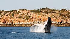 Whales and Marine Mammals - Kimberley