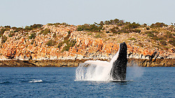 A humpback whale breaches against stunning Kimberley cliffs.