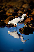 """SHOT 1/18/10 6:00:50 PM - A snowy egret hunts for food along the shore in Sayulita, Mexico. The Snowy Egret (Egretta thula) is a small white heron. The birds eat fish, crustaceans, and insects. They stalk prey in shallow water, often running or shuffling their feet, flushing prey into view, as well """"dip-fishing"""" by flying with their feet just over the water. Snowy Egrets may also stand still and wait to ambush prey, or hunt for insects stirred up by domestic animals in open fields. Sayulita is a small fishing village about 25 miles north of downtown Puerto Vallarta in the state of Nayarit, Mexico, with a population of approximately 4,000. Known for its consistent river mouth surf break, roving surfers """"discovered"""" Sayulita in the late 60's with the construction of Mexican Highway 200. In recent years, it has become increasingly popular as a holiday and vacation destination, especially with surfing enthusiasts and American and Canadian tourists. (Photo by Marc Piscotty / © 2009)"""