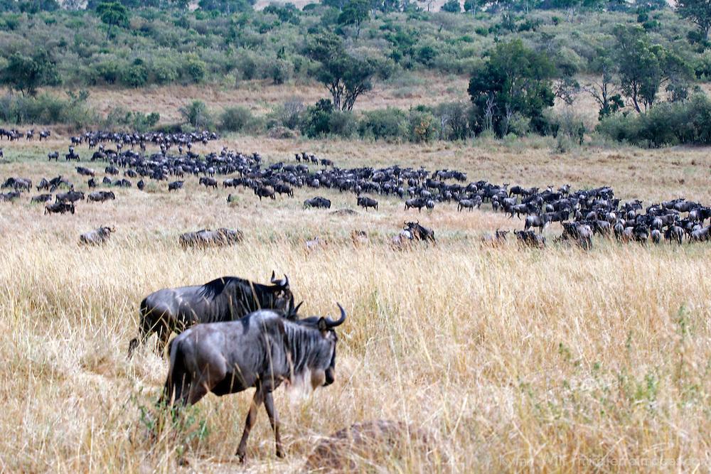 Africa, Kenya, Masai Mara. Wildebeest.