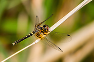 Elfin Skimmer (Nannothemis bella) - young female<br /> SOUTH CAROLINA: Chesterfield Co.<br /> Cheraw State Park; Cheraw<br /> 6.May.2012  <br /> J.C. Abbott #2589