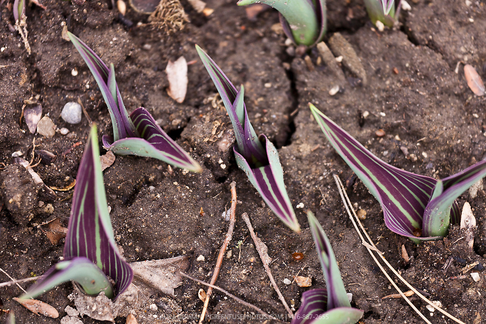 Purple and green striped tulips leaves just emerging from the ground.