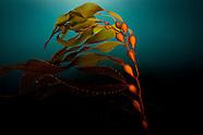 Macrocystis pyrifera (Giant Kelp)