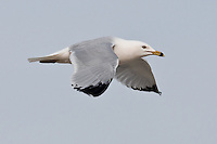 A Ring-Billed Seagull in flight at Carburn Park