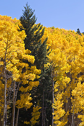 Aspen Trees during Autumn in Santa Fe, New Mexico