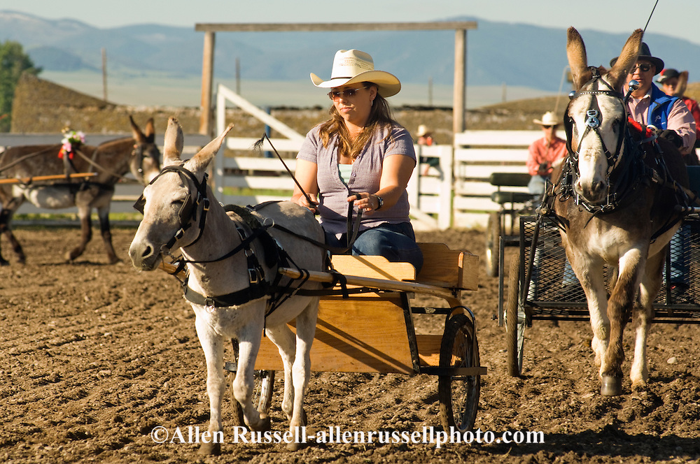 Cowgirl at Montana Mule Days in donkey (Equus asinus) driving class, <br /> MODEL RELEASED