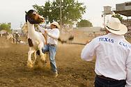 Wild Horse Race at Miles City Bucking Horse Sale, Miles City Montana