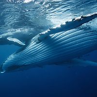 A humpback whale calf rests on her mother, Tonga.
