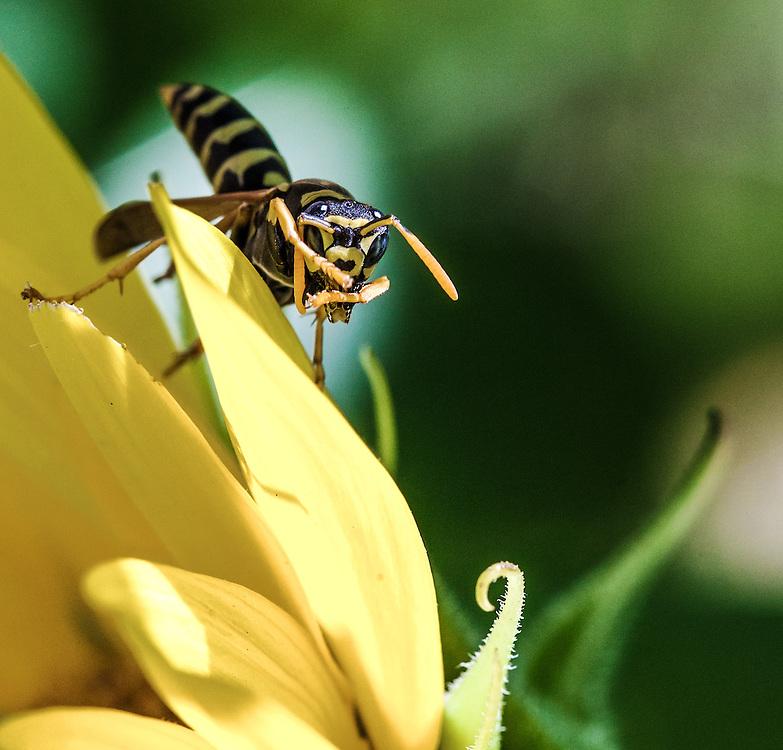 Yellowjacket (Genus Vespula)