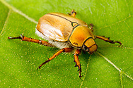 Goldsmith Beetle (Cotalpa lanigera)<br /> TEXAS: Sabine Co.<br /> Brookeland near Lake Sam Rayburne<br /> 6-April-2016<br /> J.C. Abbott &amp; K.K. Abbott #2791