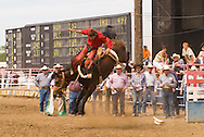 Saddle bronc rider bucked off at Miles City Bucking Horse Sale, Montana, <br /> MODEL RELEASED RIDER ONLY