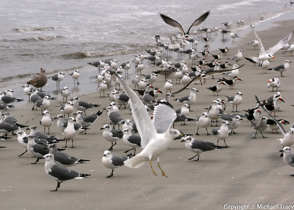 Assorted sea gulls, terns and skimmers on a remote section of Jekyll Island beach.