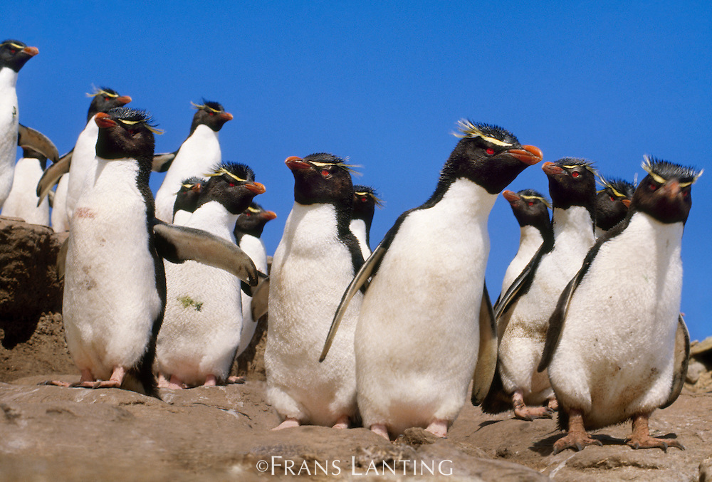 Rockhopper penguins, Eudyptes chrysocome, Falkland Islands