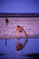 A giraffe leaning down to drink from a waterhole in Namibia's Etosha National Park is reflected in the waters at sunset.