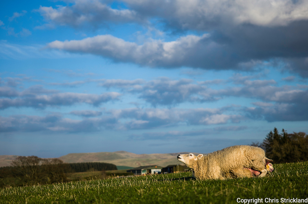 Dolphinston, Jedburgh, Scottish Borders, UK. 20th April 2015. A Lleyn ewe gives birth to twin lambs in a field on a beautiful sunny spring day in the Scottish Borders.