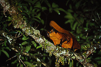 Common Giant Flying Squirrel (Petaurista petaurista) in a tree at night.