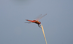 A red dragonfly clings to a twig in Camden Sound