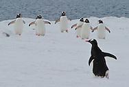 Gentoo Penguin ( Pygoscelis papua )  rookery.