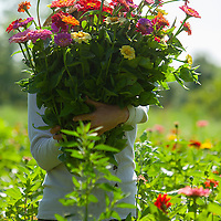 Steve Anderson's son Eric Anderson picking zinnias for market. Steve Anderson Farm.(Jodi Miller Photos)