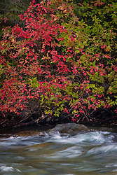 Autumn Red Osier Dogwood (Cornus sericea) along the Bumping River, Cascade Range, Washington, USA