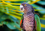 356203-1019B ~ Copyright:  George H. H. Huey ~ The endangered Sisserou parrot [Amazona imperialis], or imperial parrot, is the national bird of Dominica.  Only 60 may be left in the wild.  Dominica.  Caribbean.