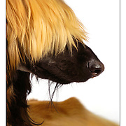 """SHOT 2/13/2004 - """"Cappy"""", a one year-old male Afghan Hound shows off some of the distintive coloration and long, shaggy hair covering a good portion of his face Friday. The breed was discovered by the Western world in the hills of Afghanistan in the 19th century and is a sight hound originally used to hunt for larger game such as snow leopards according to his owner, Deborah Ridley of Granite Canyon, Wyo. Ridley said it was his first big show and that he has a bit more fur than an adult Afghan because he's still a puppy. The Rocky Mountain Cluster dog show is one of the largest dog shows in the West and features 162 different breeds of dogs and draws close to 4,000 canines a day. The four day long event is held cooperatively between the Plum Creek Kennel Club and the Colorado Kennel Club. The dog show draws people and dogs from all across the country as well as Mexico, Canada and Europe..(Photo by MARC PISCOTTY / ©2004)"""