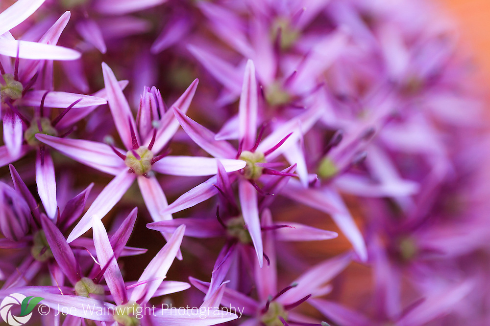An allium photographed in my own garden, during a break from the rains of summer 2012.