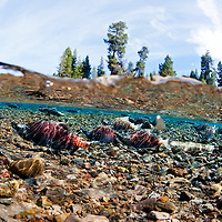 A school of Kokanee (sockeye salmon) spawning in river.