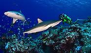 Yap Sharks