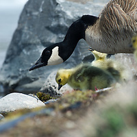 Baby goslings feed along the Deschutes River