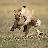 Africa, Kenya, Masai Mara Game Reserve, Young lioness (Panthera leo) leaps while playing with carcass of young Warthog on savanna