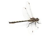 Dusky Clubtail (Gomphus lividus)<br /> WISCONSIN: Oneida Co.<br /> 8535 Bo-di lac Rd, Minoqua <br />  45.876839, -89.901170 <br /> 11-June-2014<br /> J.C. Abbott #2666 &amp; K.K. Abbott