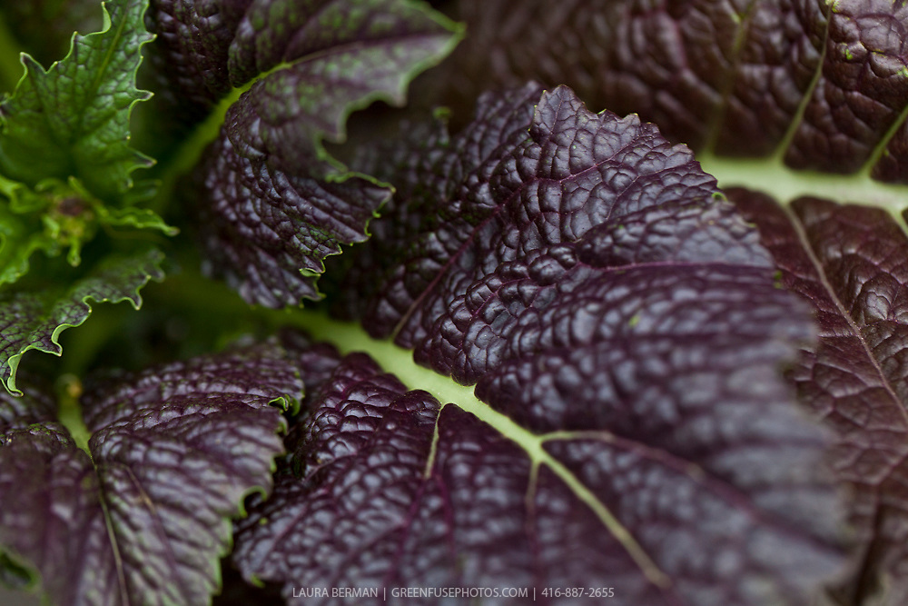 Red Giant mustard (Brassica juncea 'Red Giant')
