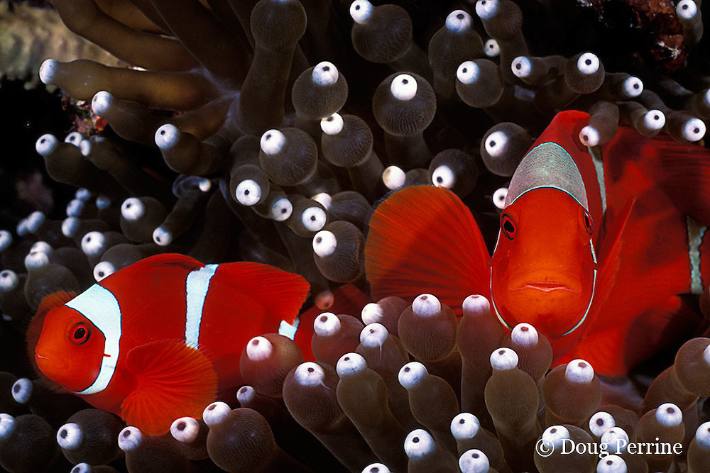 spine-cheek anemonefish, Premnas biaculeatus, in anemone, Entacmea quadricolor, Kimbe Bay, Papua New Guinea ( Bismarck Sea )