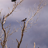 Three American Crows (Corvus brachyrhynchos) perch in the branches of a barren tree in Everglades National Park, Florida.<br />