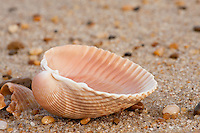 A close-up of a scallop shell on the Outer Banks. Found in all of the world's oceans, many scallops are highly prized as a food.