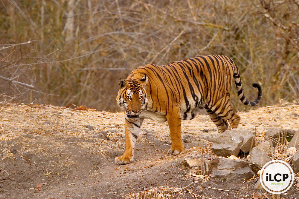 An Indian tiger Panthera tigris strides along the banks of a waterhole in the foothill forests of the Western Ghats. Poaching and pressures on their habitat have greatly reduced their numbers. Fewer than 4,000 tigers remain in India, making up 65% of the world&rsquo;s population of tigers. Stringent conservation measures need to be implemented<br />