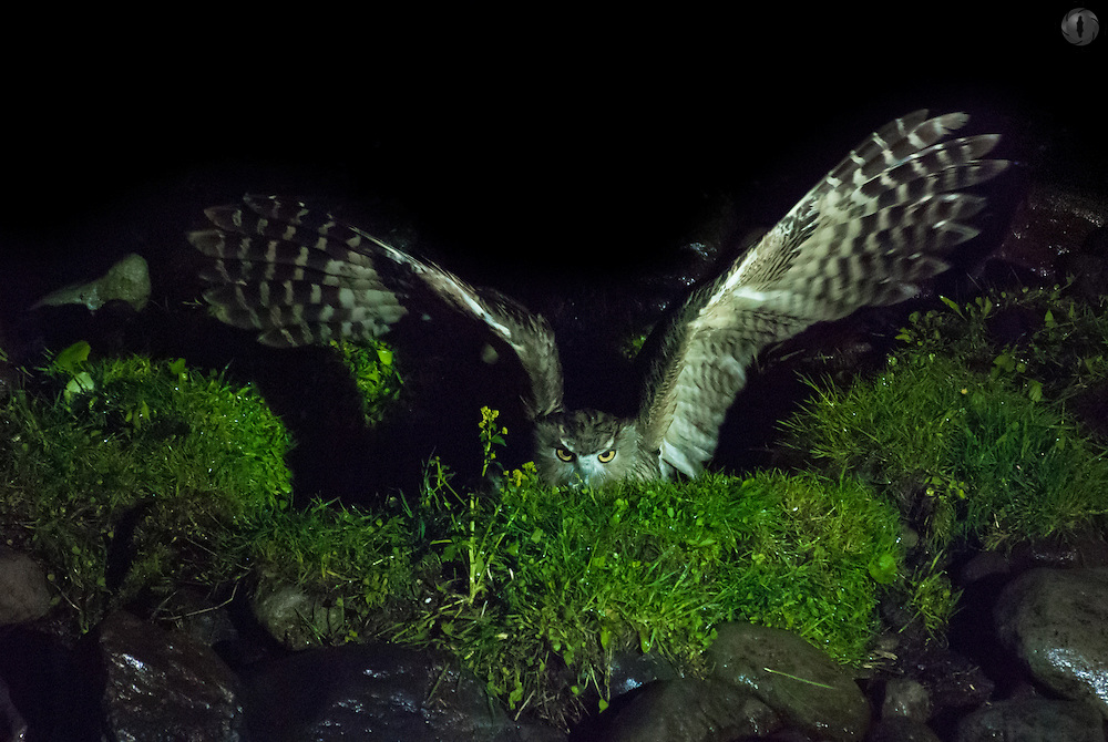 A Blakiston's Fish Owl (Bubo blakistoni), one of the largest owls in the world, fishing for prey, with its wings outstretched and only upper body visible. Taken in Rausu, Hokkaido, Japan.