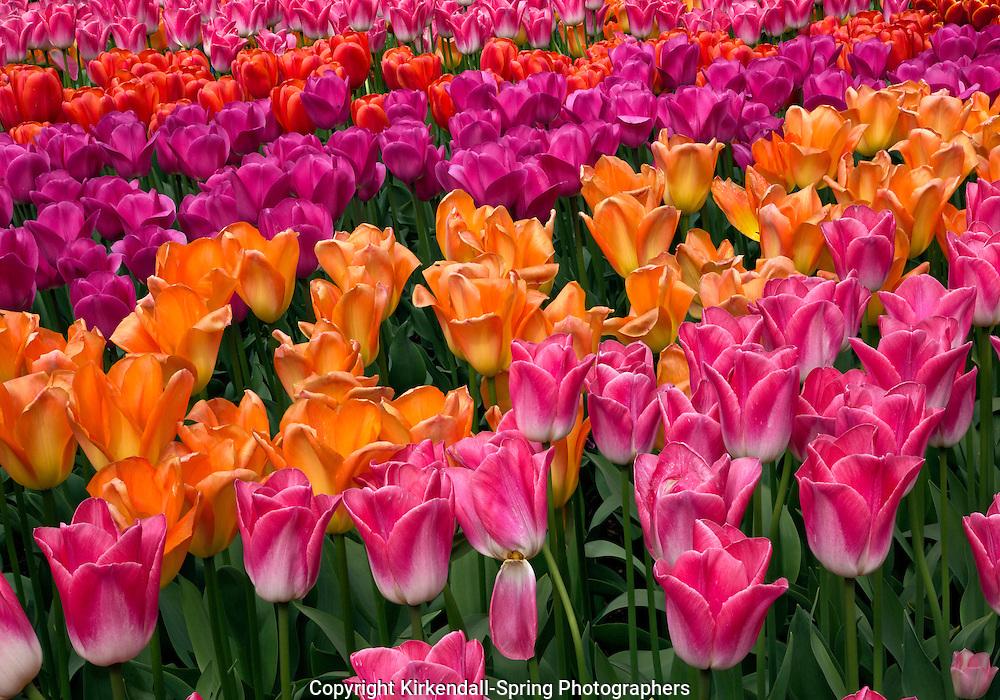 WA10254-00...WASHINGTON - Tulips in a demonstration garden at RoozenGaarde Bulb Farm in the Skagit Valley near Mount Vernon.
