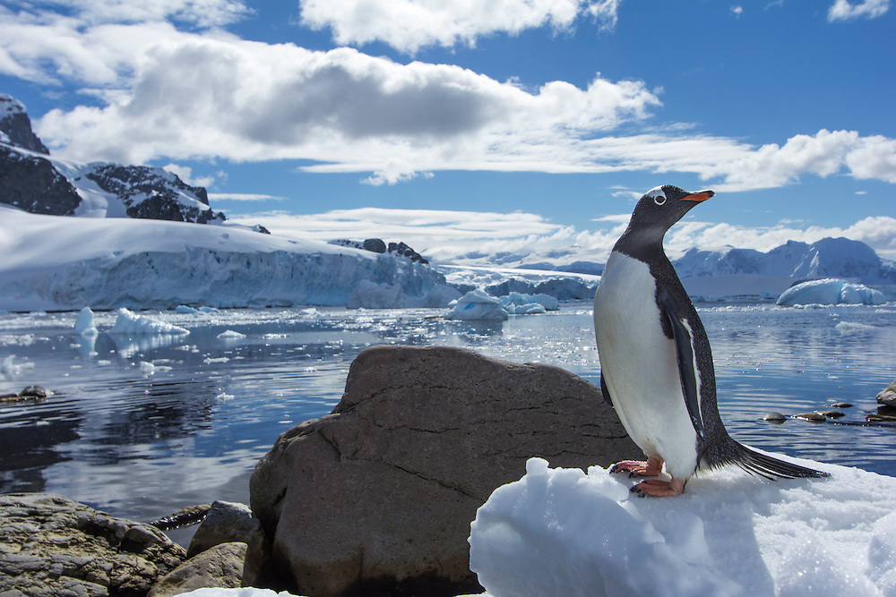 Antarctica, Cuverville Island, Gentoo Penguin (Pygoscelis papua) standing in snow along shoreline near glacier-covered mountains on Ronge Island