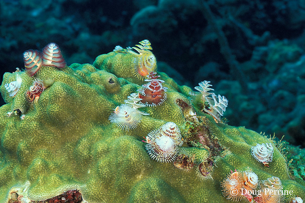 Christmas tree tube worms, Spirobranchus giganteus, on star coral, The Garden, St. Vincent, West Indies ( Caribbean Sea )