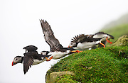 Atlantic Puffins on Mykines island, Faroe Islands